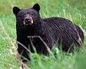 Black bear Yellowstone NP 2008