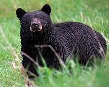 Ursidae  Wikipedia la enciclopedia libre