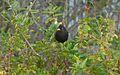 Blackbird Rabat1.jpg