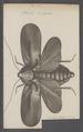 Blatta - Print - Iconographia Zoologica - Special Collections University of Amsterdam - UBAINV0274 065 02 0004.tif