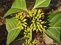 Blepharistemma serratum at Periya (18).jpg