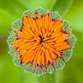 Bloemknop van een goudsbloem (Calendula officinalis) 03-07-2020 (d.j.b.) 02.jpg