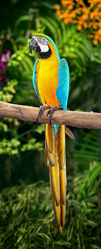 Macaw - A blue-and-yellow macaw