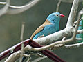 Blue-capped Cordon-bleu SMTC.jpg