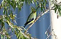 Blue-winged Parrot (Neophema chrysostoma) (30555840954).jpg