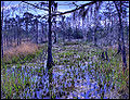 Blue Hole Swamp.jpg