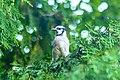 Blue Jay (35392791592).jpg