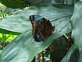 Blue Morpho butterfly at Niagara Parks Butterfly Conservatory, 2010 A.jpg
