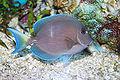 Blue tang surgeonfish - Acanthurus coeruleus.jpg