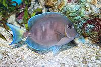 Blue tang surgeonfish - Acanthurus coeruleus