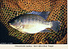 Blue tilapia identification ASACE.jpg
