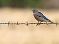 Bluebird on a Wire.jpg