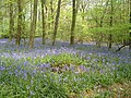 Bluesbells in Abbots Wood - geograph.org.uk - 42487.jpg