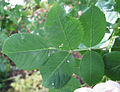 Blush rose leaf.jpg