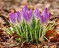 Boerenkrokus (Crocus tommasinianus) 27-02-2021 (actm.) 03.jpg