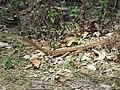 Boiga - Cat Snake IMG 1004.jpg