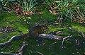 Bornean Mountain Ground Squirrel (Dremomys everetti) (14503434638).jpg