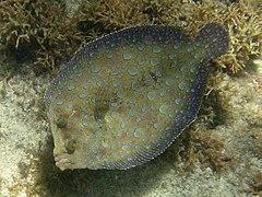 Bothus lunatus-StCroix