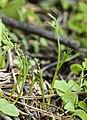 Botrychium montanum (mountain moonwort) (14641885830).jpg