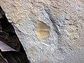 Brachiopod fossil in sandstone (Byer Sandstone, Lower Mississippian; west of Toboso, Ohio, USA) 2 (30749814570).jpg