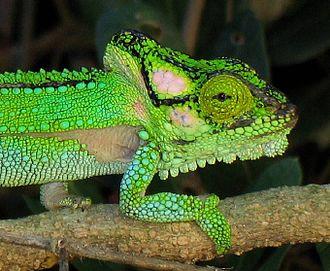 Knysna dwarf chameleon - Image: Bradypodion damaranum 1