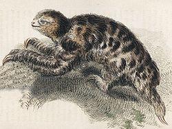 Bradypus pygmaeus.jpg