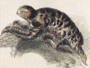 Pygmy three-toed sloth - 1825 illustration, Thomas Landseer