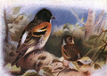 Brambling by Archibald Thorburn.png