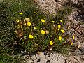 Brass Buttons (Cotula coronopifolia) (7444948058).jpg