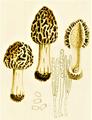 Bresadola - Morchella vulgaris.png