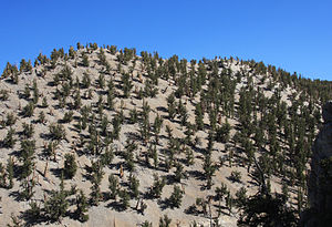 Pinus longaeva - Bristlecones spread out on dolomite hillside, Ancient Bristlecone Pine Forest