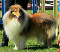 British Rough Collie.jpg
