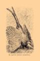 Brockhaus and Efron Encyclopedic Dictionary b33 074-0- 14 Argus giganteus.png