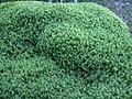Broom moss (Orphan Lk) 2.JPG