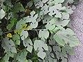 Broussonetia papyrifera-2-AJCBIBG-howrah-India.jpg