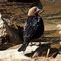 Brown-headed Cowbird (9119946147).jpg