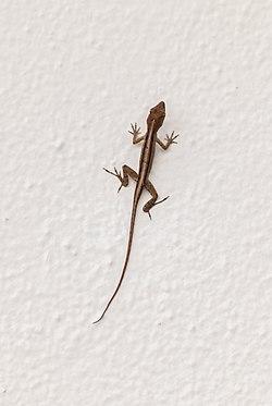Brown Anole Lizard ARPT-LZ-BA-1.jpg
