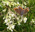 Brown Argus. Aricia agestis - Flickr - gailhampshire (2).jpg