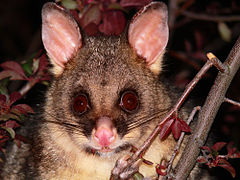 Brush tail possum 2.jpg