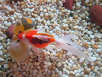 Bubble Eye - Bubble eye goldfish(with a dorsal fin) seen from the top