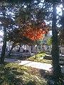 Bucuresti, Romania. Cimitirul Bellu Catolic. Puiul de stejar cu frunze de foc (2).jpg