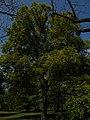 Budai Arborétum. Felső kert. Libanoni tölgyfa (Quercus libani). - Budapest.JPG