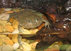 Description de l'image Budgett's Frog.jpg.