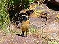 Buff-streaked Chat (Oenanthe bifasciata) male (6888315210).jpg