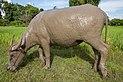 Buffalo after mud bath.jpg