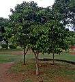 Bulletwood tree (Mimusops elengi) at Shilparamam Jaatara.jpg