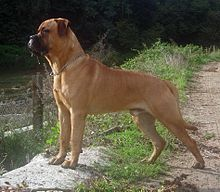 A red bullmastiff standing side on