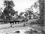 Bullocks on a settlers bush track (2936716699).jpg