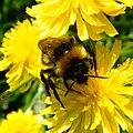 Bumblebee, Sandy, Bedfordshire (7368077752).jpg