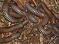 Bunch of Zebra Millipede (Diplopoda) feeding on ... (small fruits ?) (11569009023).jpg